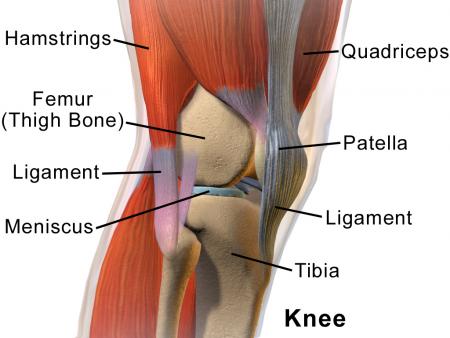 The knee tibia, femur and patella